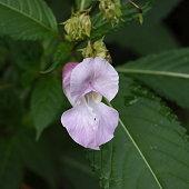 Indian Himalayan Balsam