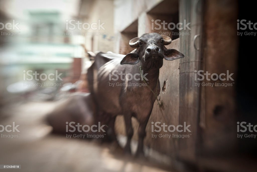 Indian holy cow stock photo