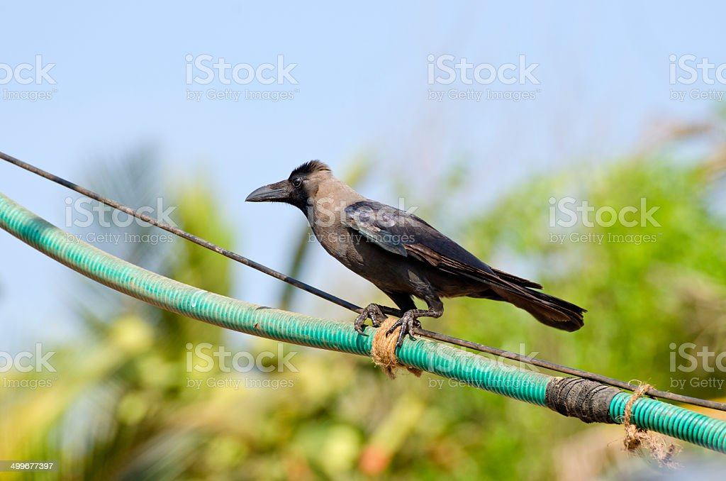 Indian House Crow (Corvus splendens) on electric cable stock photo