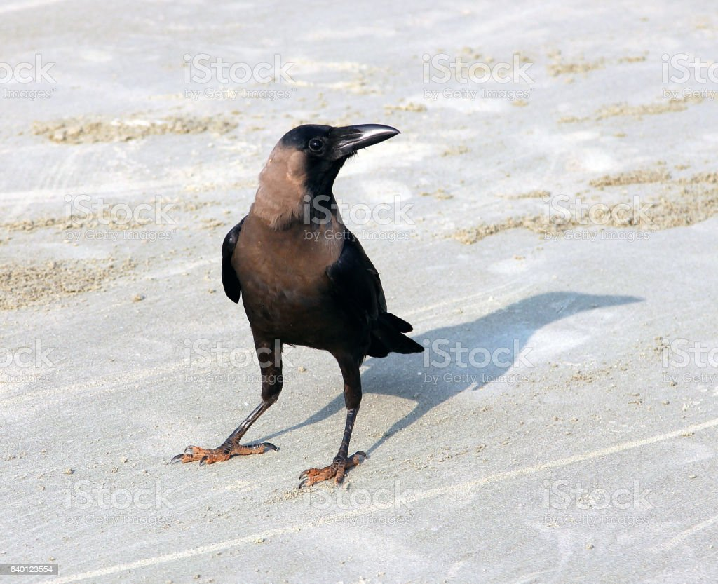 Indian House Crow (Corvus splendens) on the beach of Goa stock photo