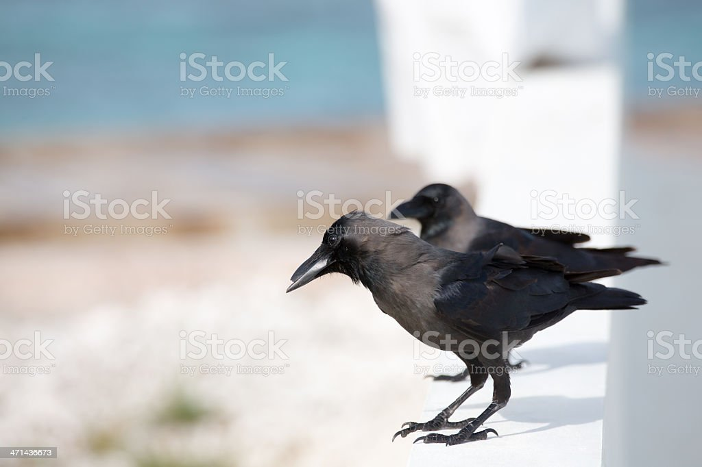 Indian House Crow stock photo