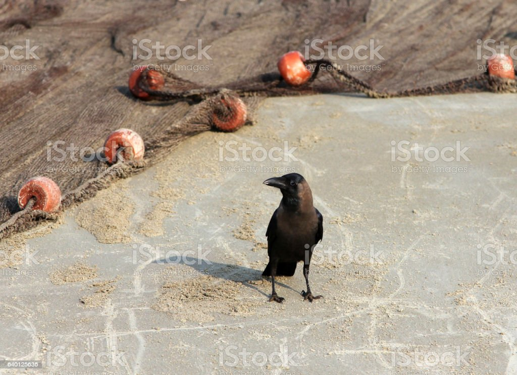 Indian House Crow (Corvus splendens) stock photo