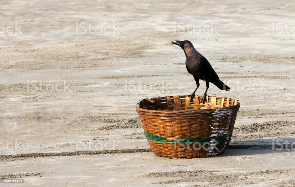 Indian House Crow (Corvus splendens) sitting on a wicker basket stock photo