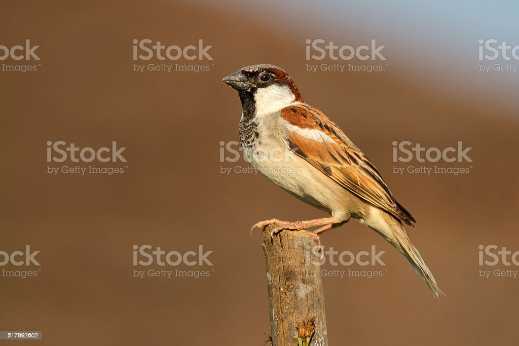 Indian house sparrow stock photo