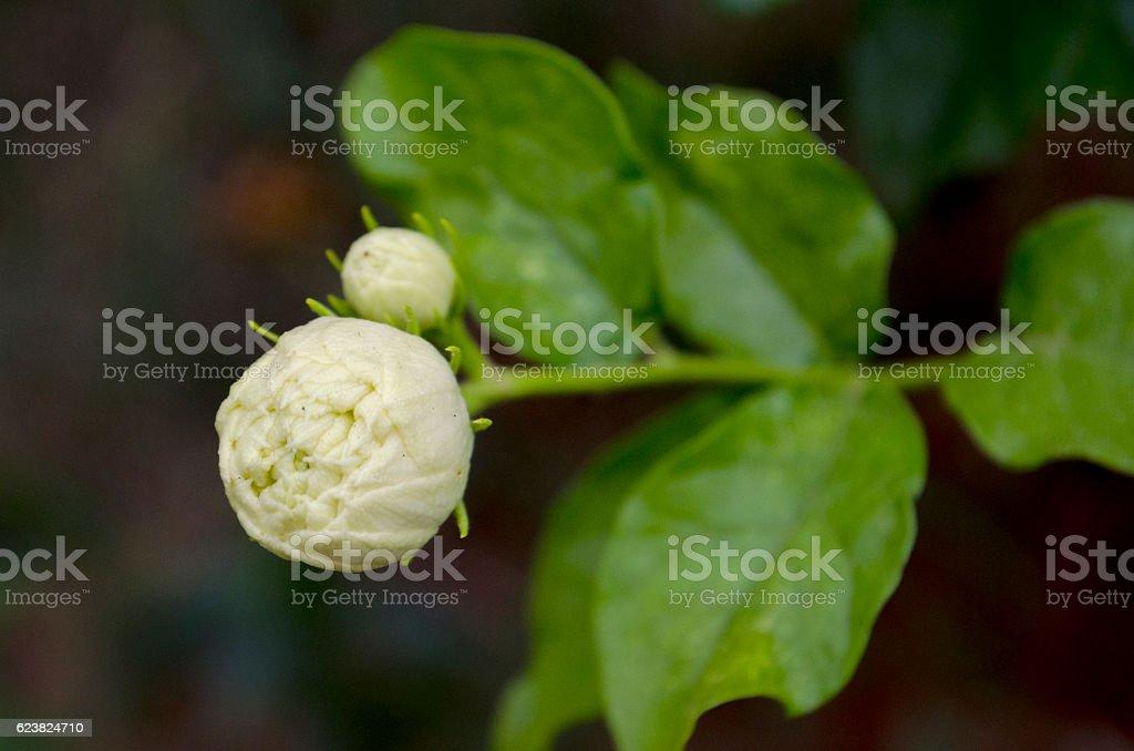 Indian jasmine, jasmine tea flower stock photo