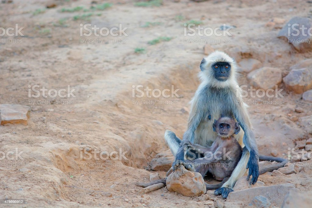 Indian langur and Her baby stock photo