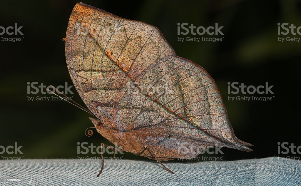 Indian Leaf Butterfly stock photo
