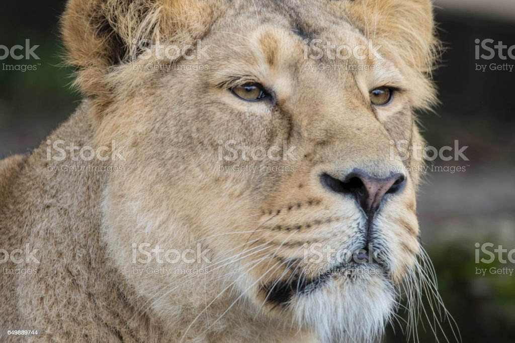 Indian Lion. Asiatic Female Lioness Close Up stock photo