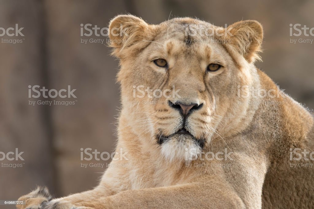 Indian Lion. Asiatic Female Lioness stock photo