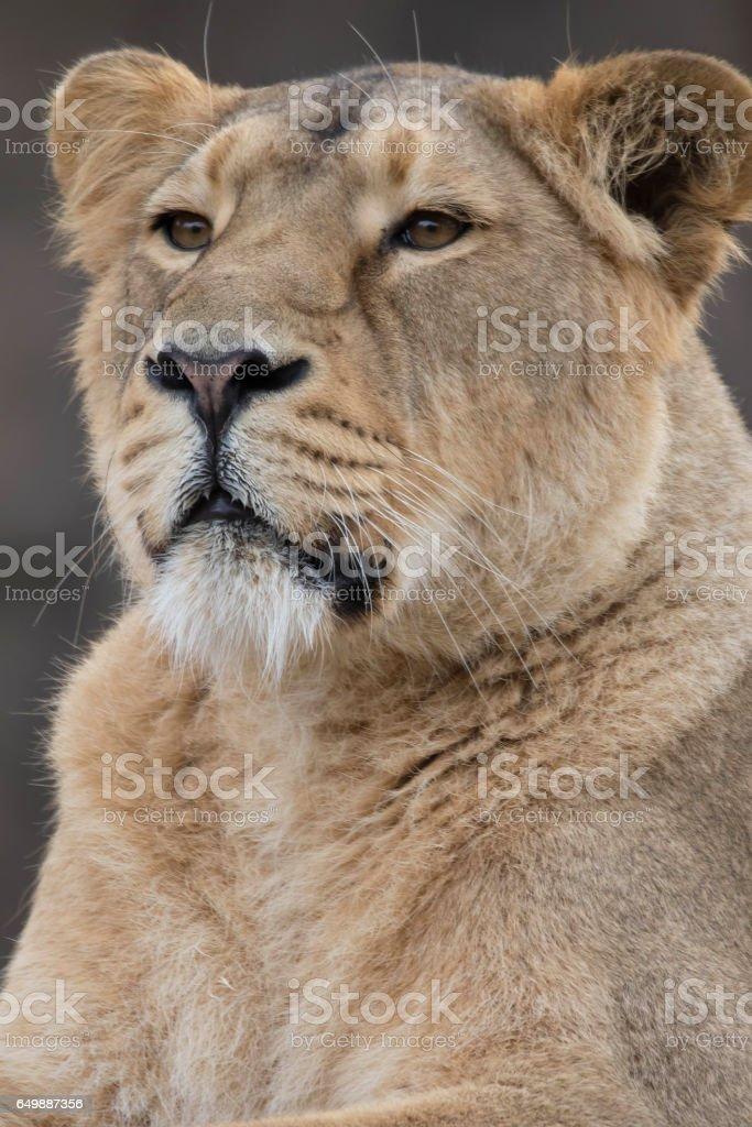 Indian Lion. Asiatic Female Lioness Portrait stock photo