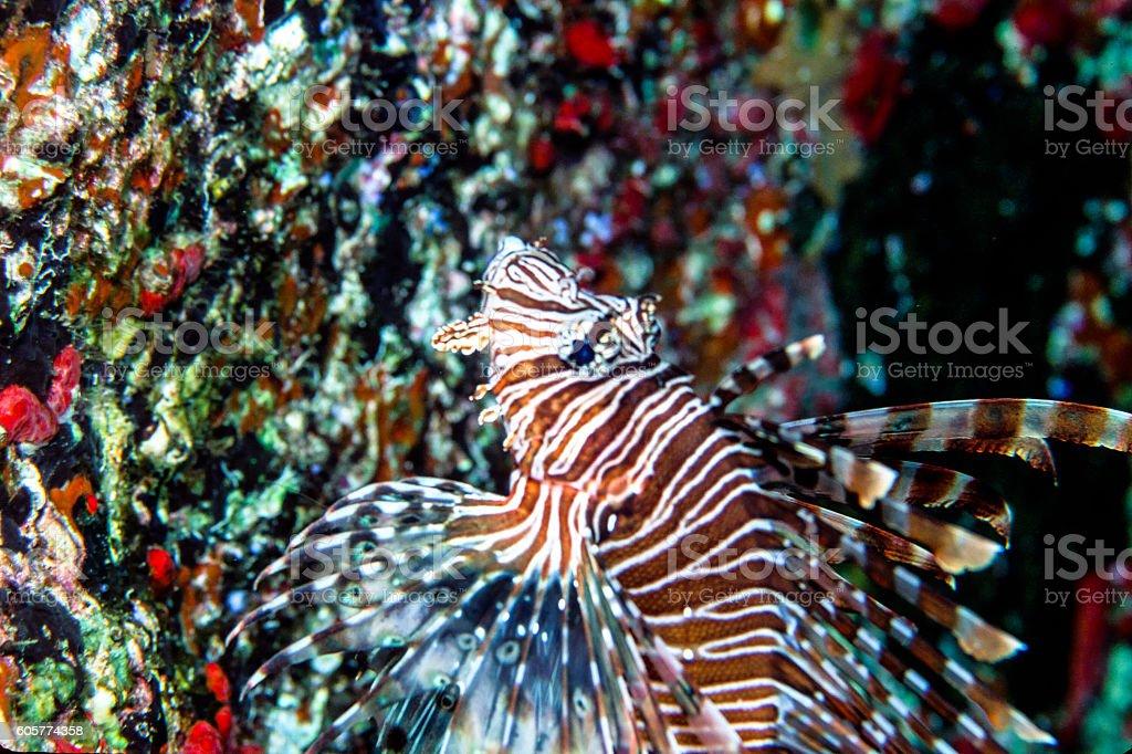 Indian Lionfish - Thailand (Closeup Vertical) royalty-free stock photo