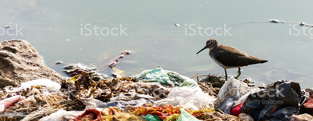 Indian Long-billed Dowitcher, wading in water surrounded by human...