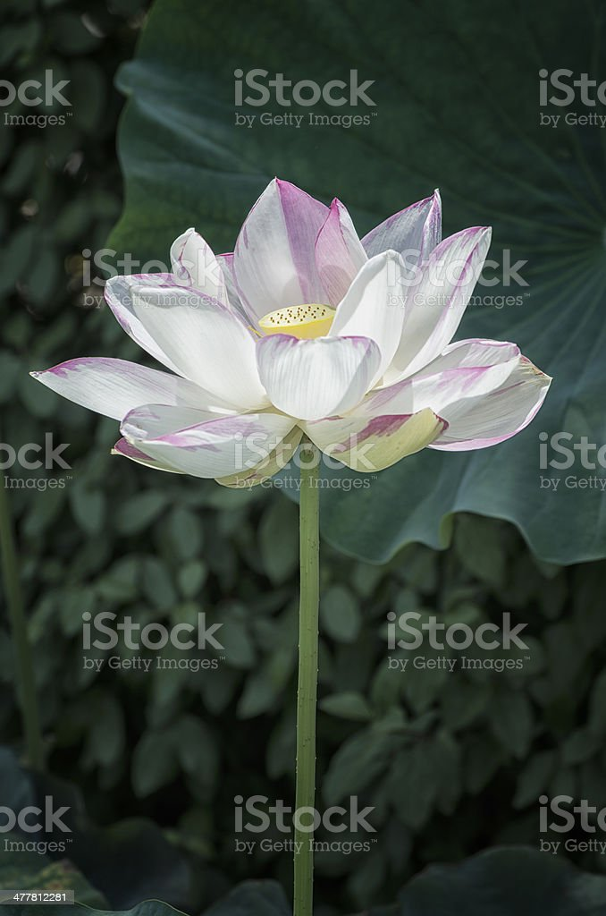 Indian Lotus royalty-free stock photo