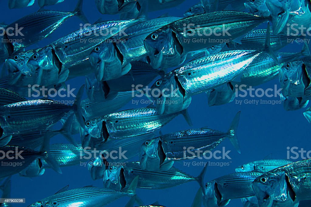 Indian mackerel 2 stock photo