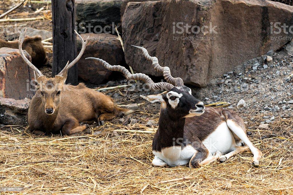 Indian male blackbuck antelope or (antelope cervicapra). stock photo