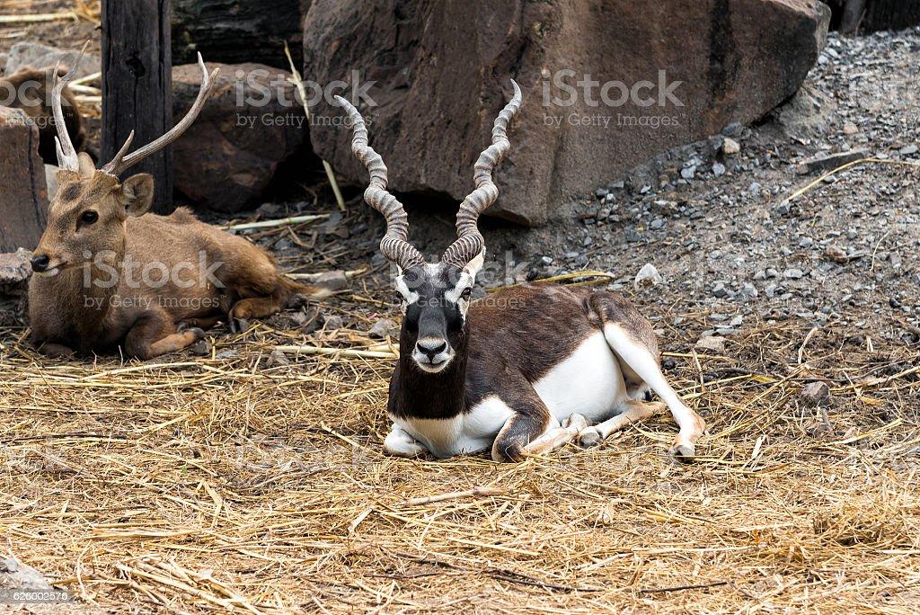 Indian male blackbuck antelope or (antilope cervicapra). stock photo