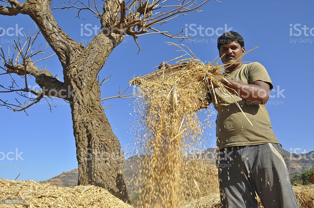 Indian Man cleaning raw rice royalty-free stock photo
