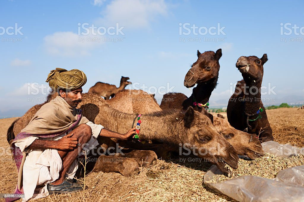 Indian man feeding camels, Pushkar Camel Fair, India stock photo