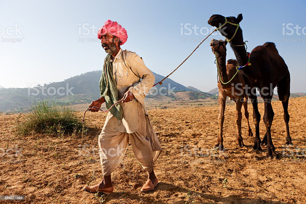 Indian man holding camels during festival in Pushkar stock photo