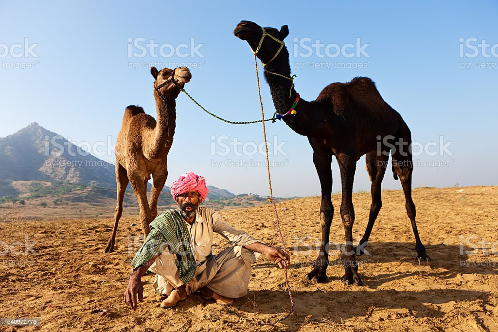Indian man with holding camels during festival in Pushkar, India stock photo