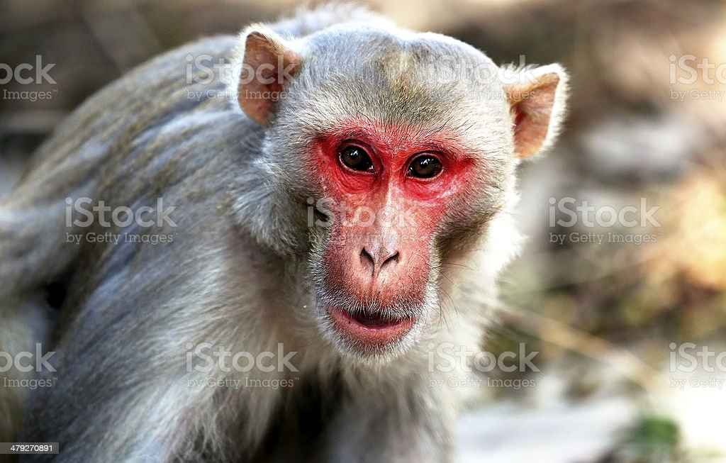 Indian Monkey Images Indian Monkey Pictures...