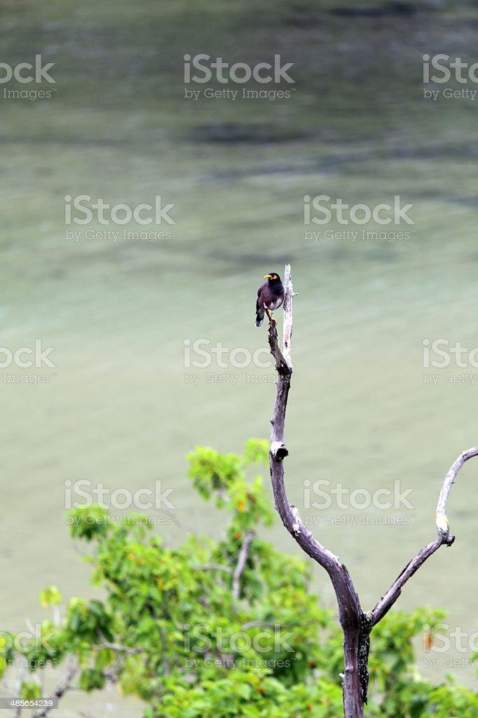 Indian Myna Bird stock photo