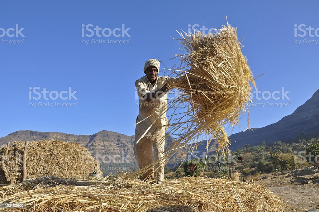Indian old man working in rice field royalty-free stock photo