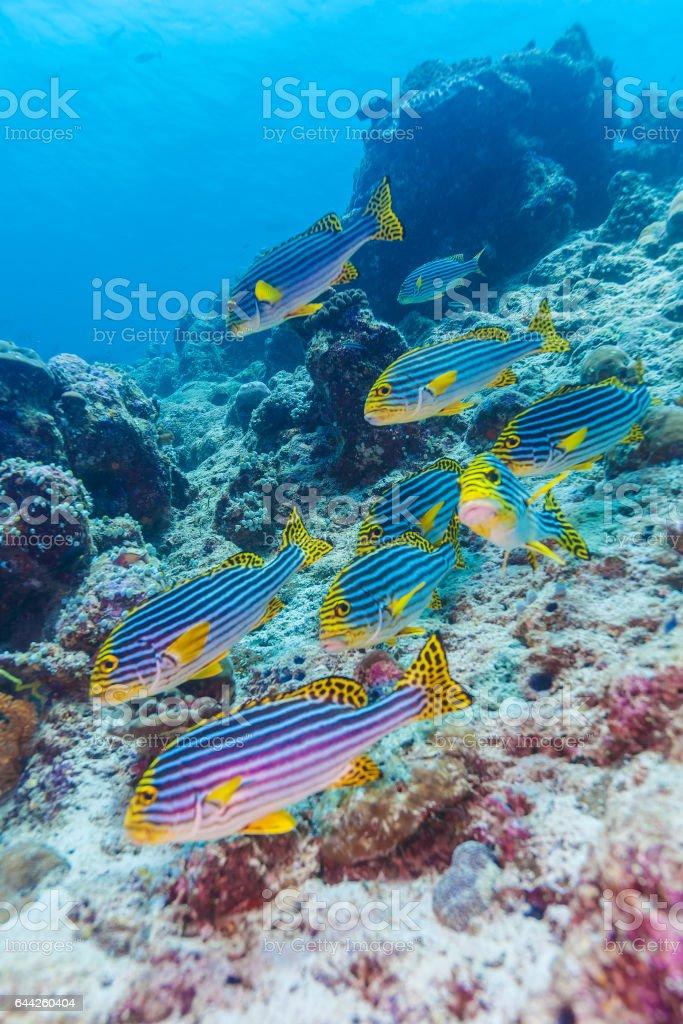 Indian oriental sweetlips (Plectorhinchus vittatus), Maldives stock photo
