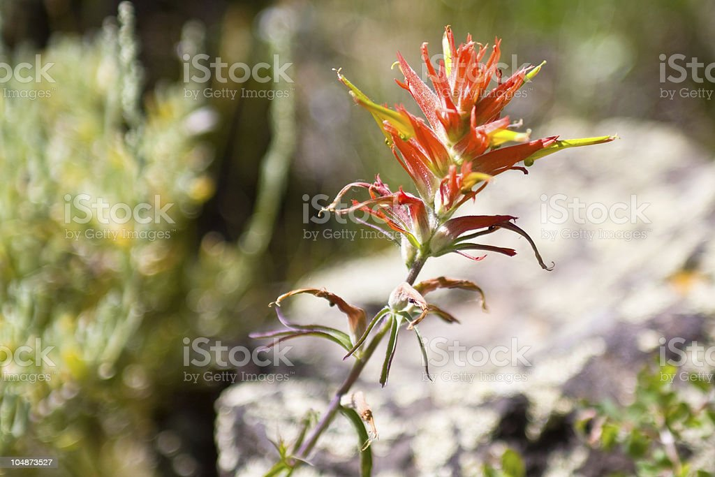 Indian Paint Brush Wyoming State Flower royalty-free stock photo