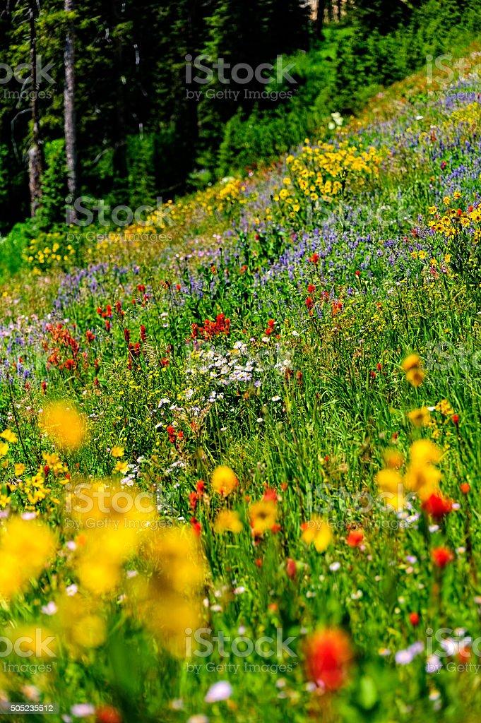 Indian Paintbrush Flowers stock photo