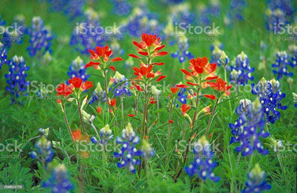 Indian Paintbrush stock photo
