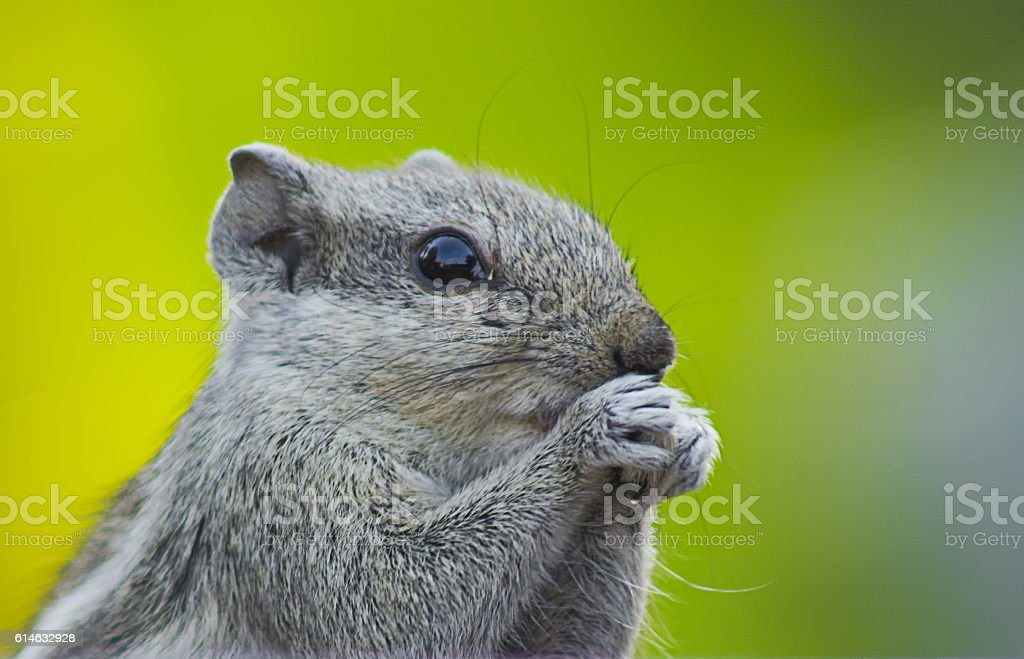 Indian Pam Squirrel stock photo