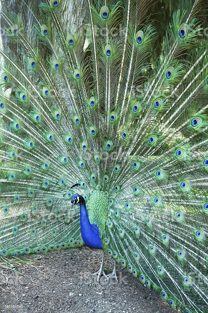 Indian Peacock Displaying His Tail During Courtship stock photo