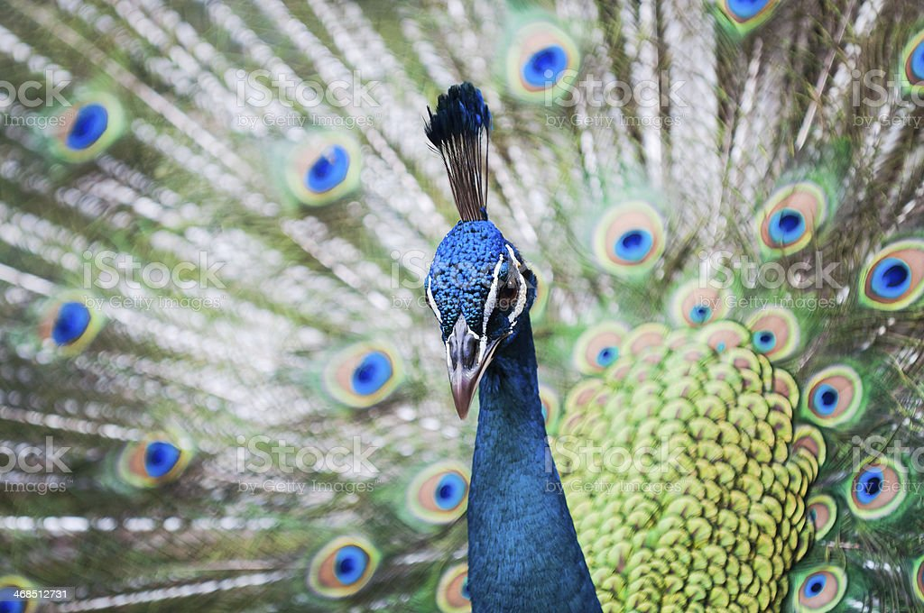Indian Peacock stock photo
