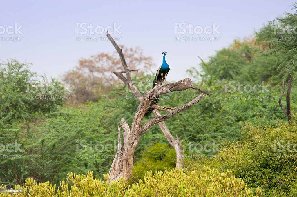 indian peacock sitting on a tree trunk stock photo
