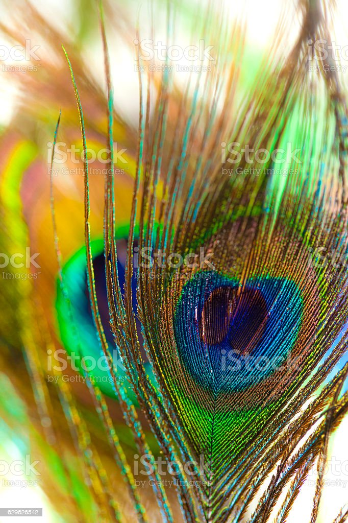 Indian peafowl feathers stock photo