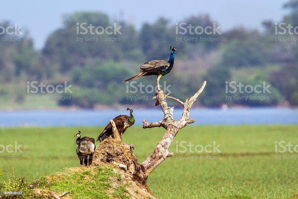 Indian peafowl in Arugam bay lagoon, Sri Lanka stock photo