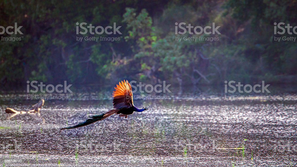 Indian peafowl in Bardia national park, Nepal stock photo