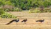 Indian peafowl in Bundala national park, Sri Lanka