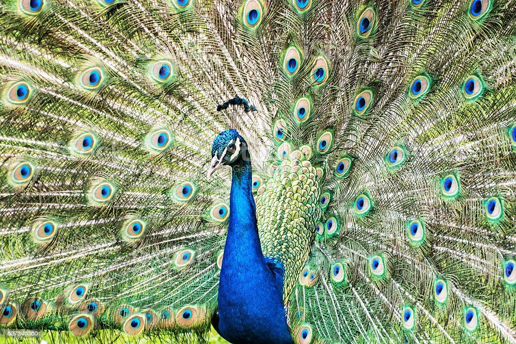 Indian peafowl - Pavo cristatus - male (peacock) displaying stock photo