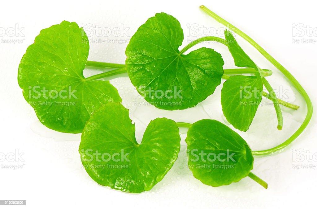 Indian pennywort (Centella asiatica (L.) Urban.) brain tonic her stock photo