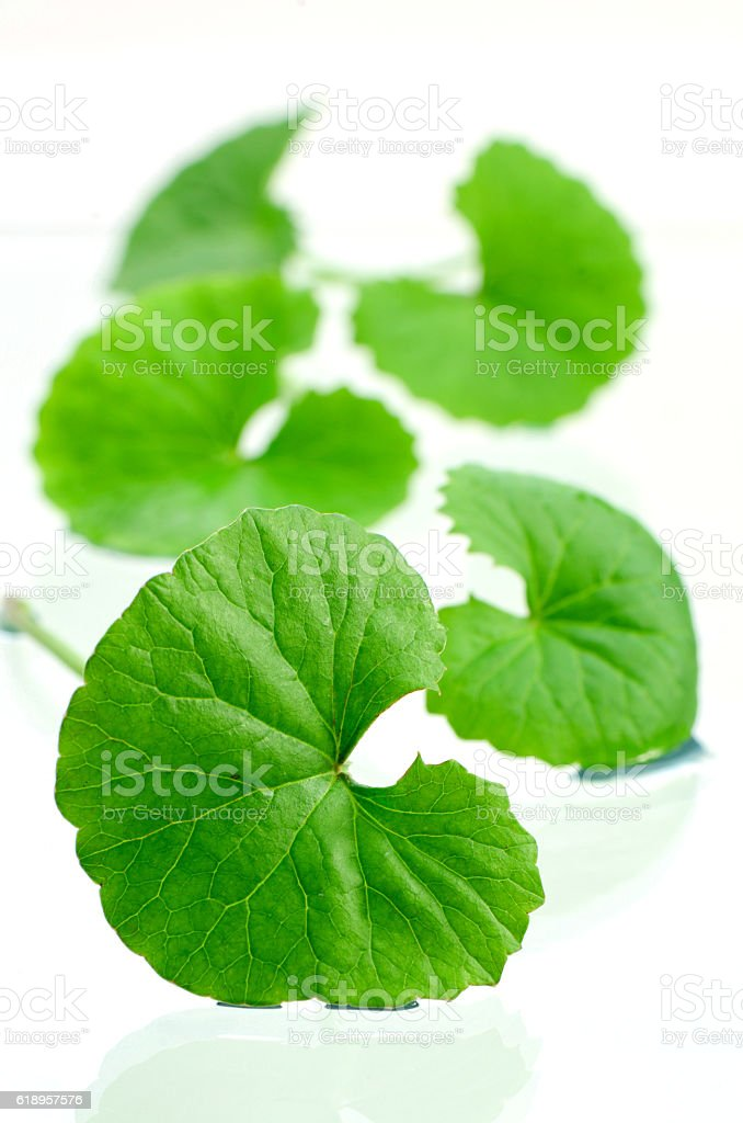 Indian pennywort brain tonic herbal plant. stock photo