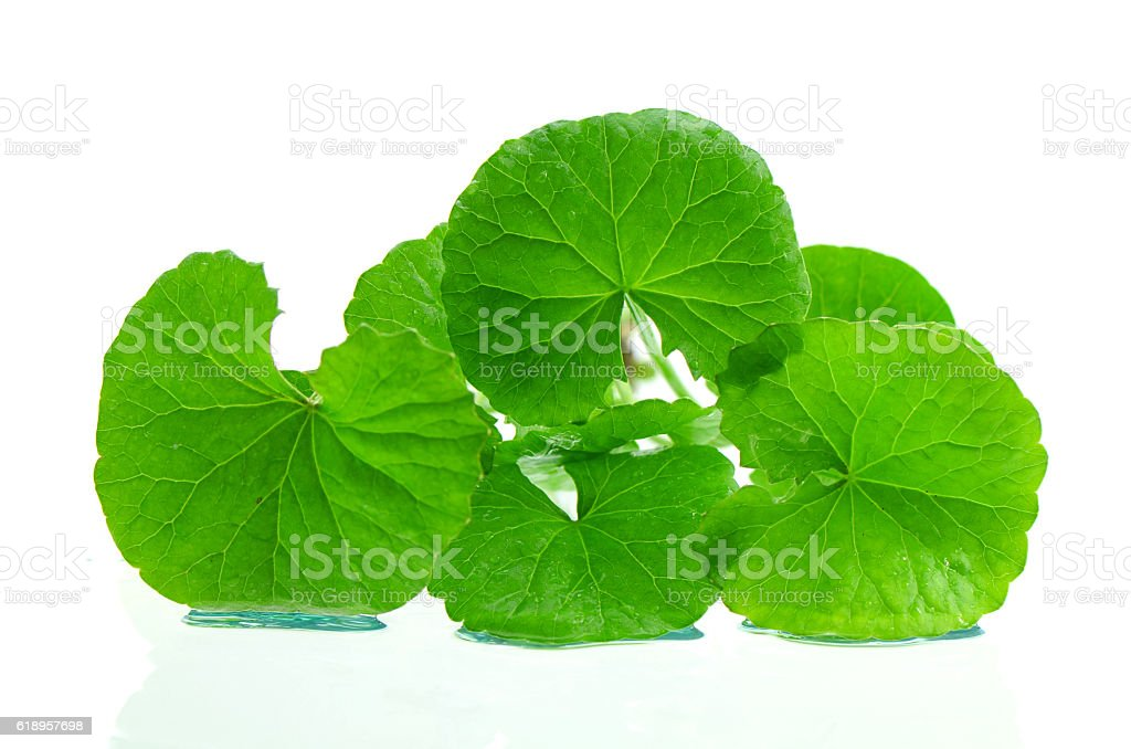 Indian pennywort brain tonic herbal plant. stock photo