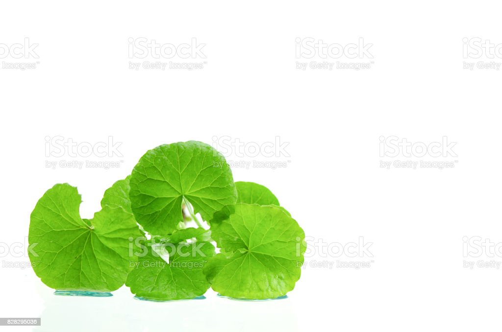 Indian pennywort (Centella asiatica (L.) Urban.) brain tonic herbal plant. stock photo