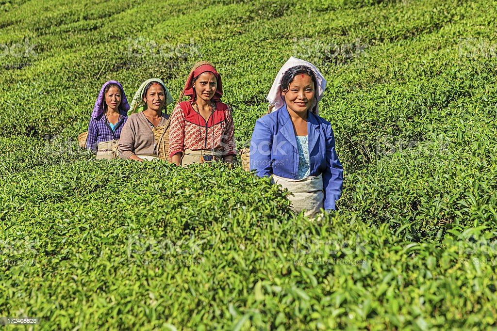 Indian pickers crossing tea plantation in Darjeeling, India stock photo