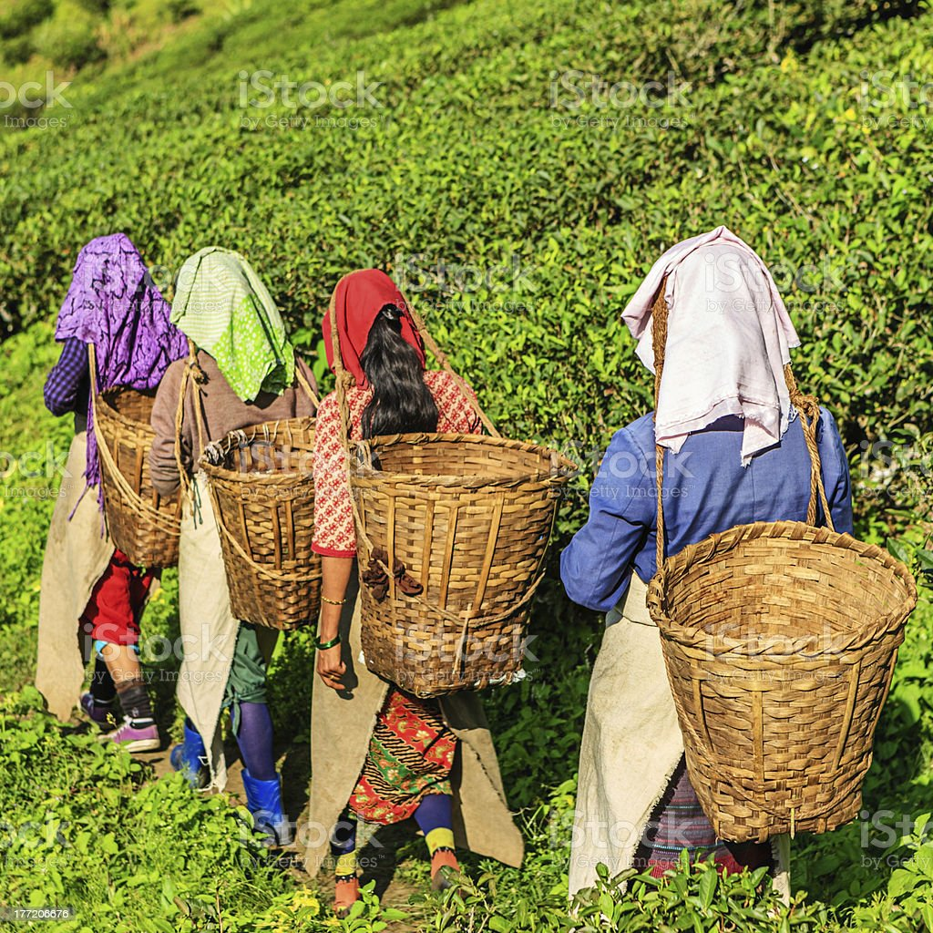 Indian pickers crossing tea plantation in Darjeeling, India royalty-free stock photo