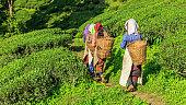 Indian pickers crossing tea plantation in Darjeeling, India