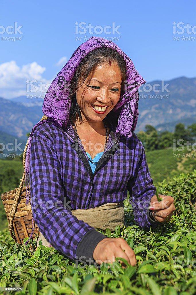 Indian pickers plucking tea leaves in Darjeeling, India royalty-free stock photo