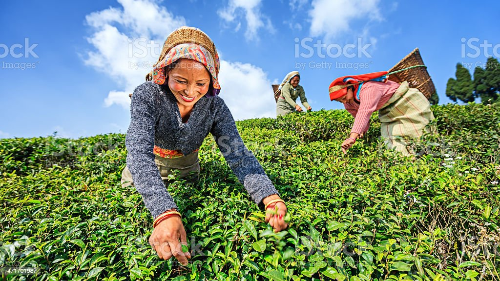 Indian pickers plucking tea leaves in Darjeeling, India royalty-free stock photo