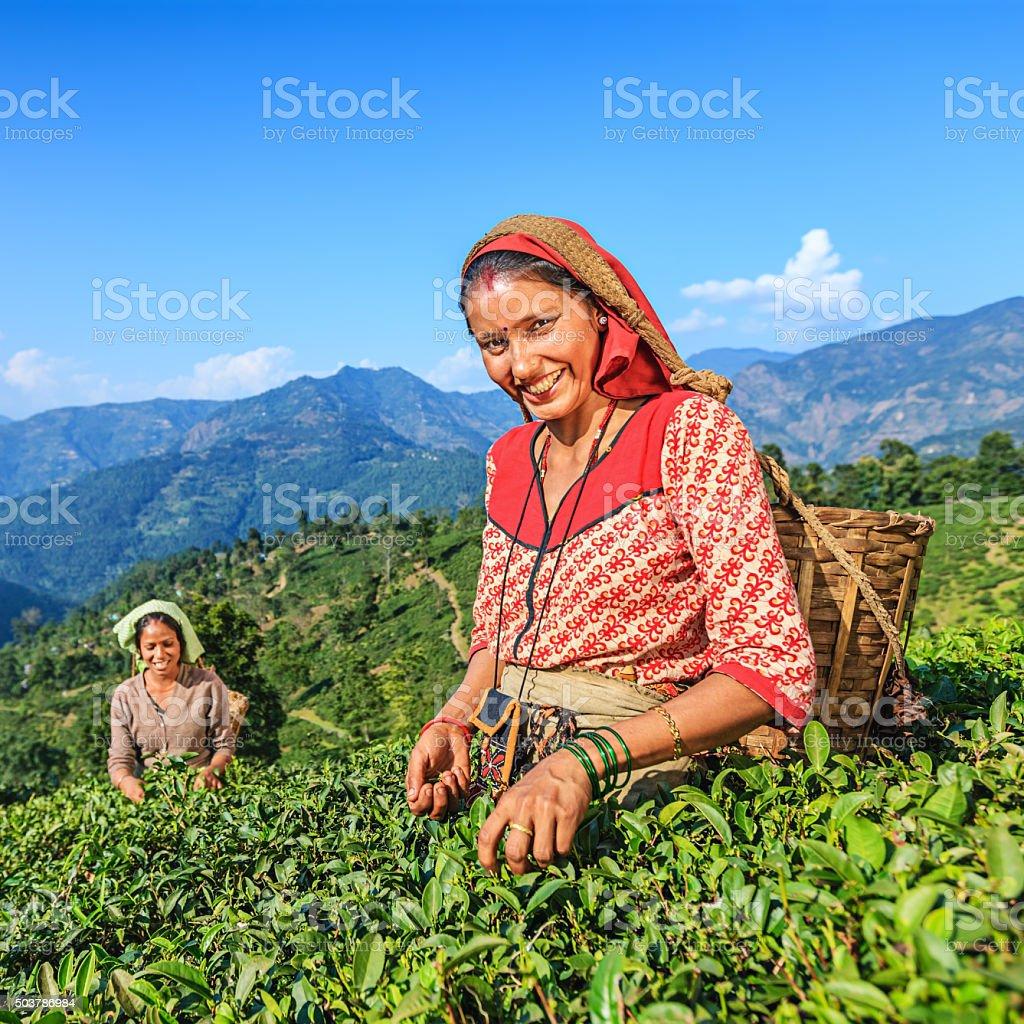 Indian pickers plucking tea leaves in Darjeeling, India stock photo